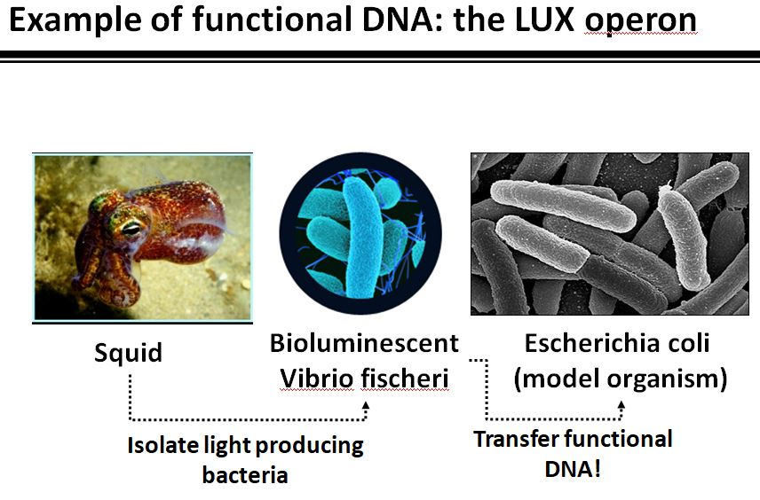 Functional DNA and bioluminescence
