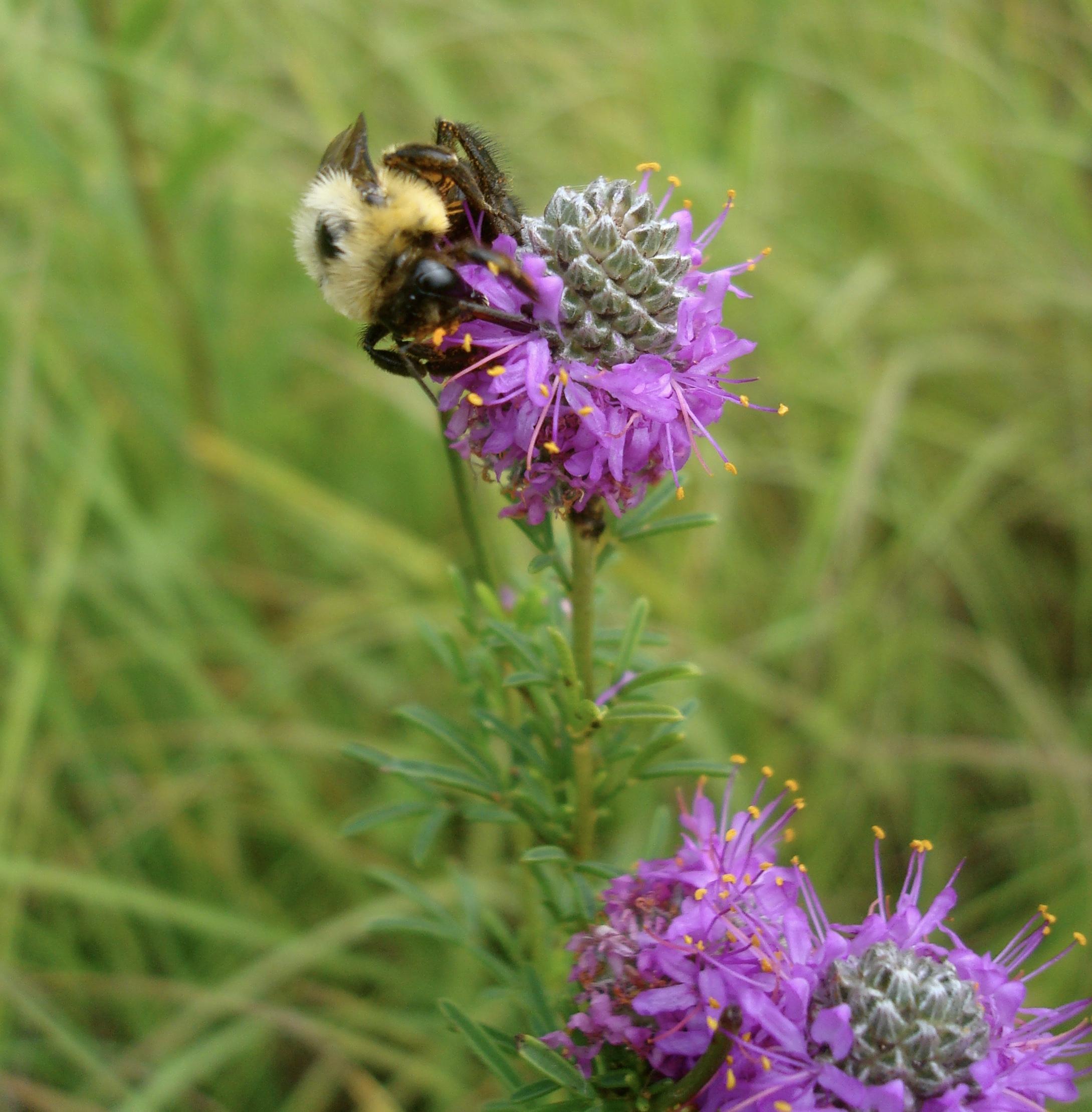 Bumble bee ( Bombus sp. ) foraging on Purple prairie clover ( Dalea purpurea )