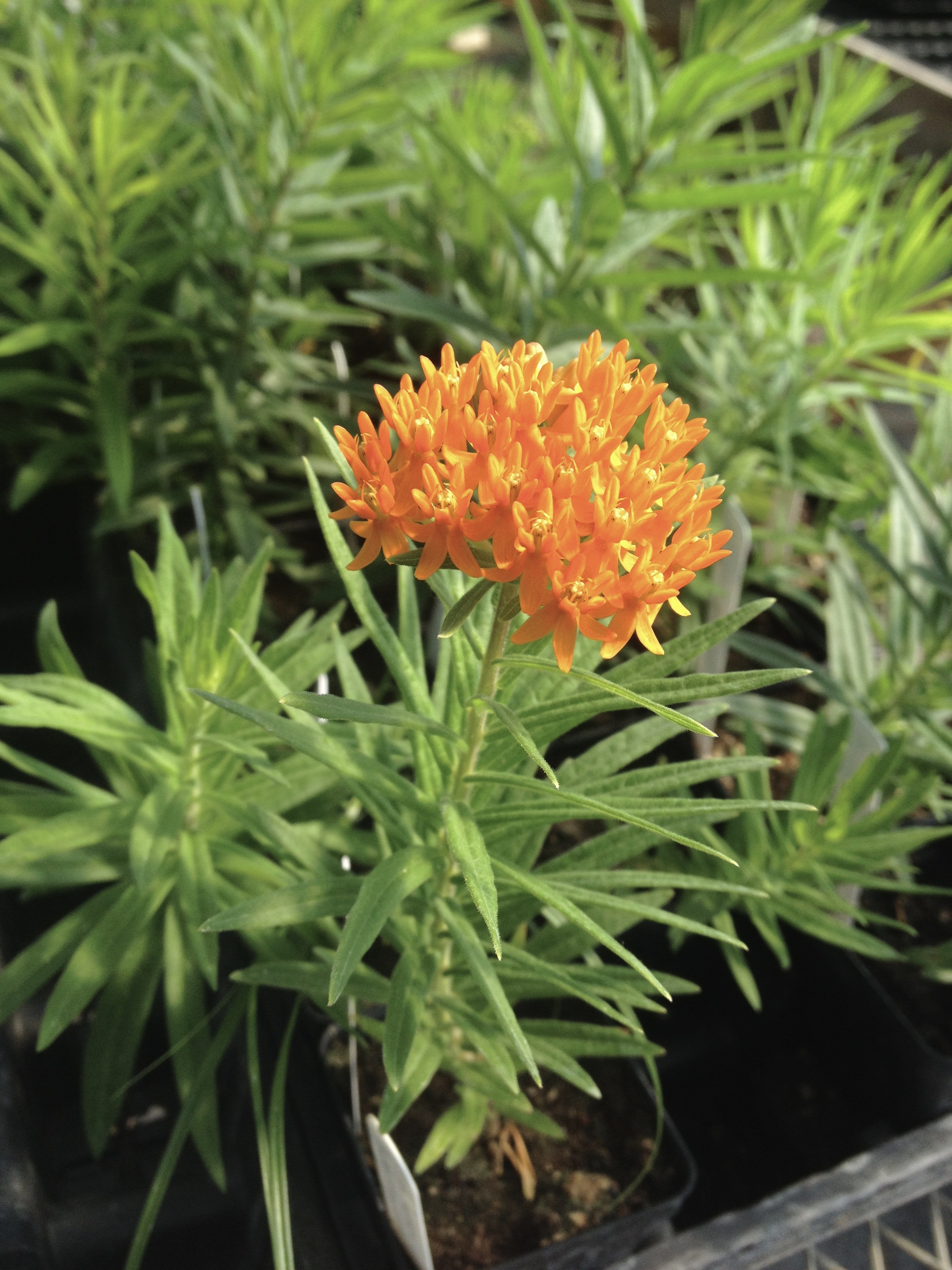 Butterfly milkweed (Asclepias tuberosa) blooming in the greenhouse