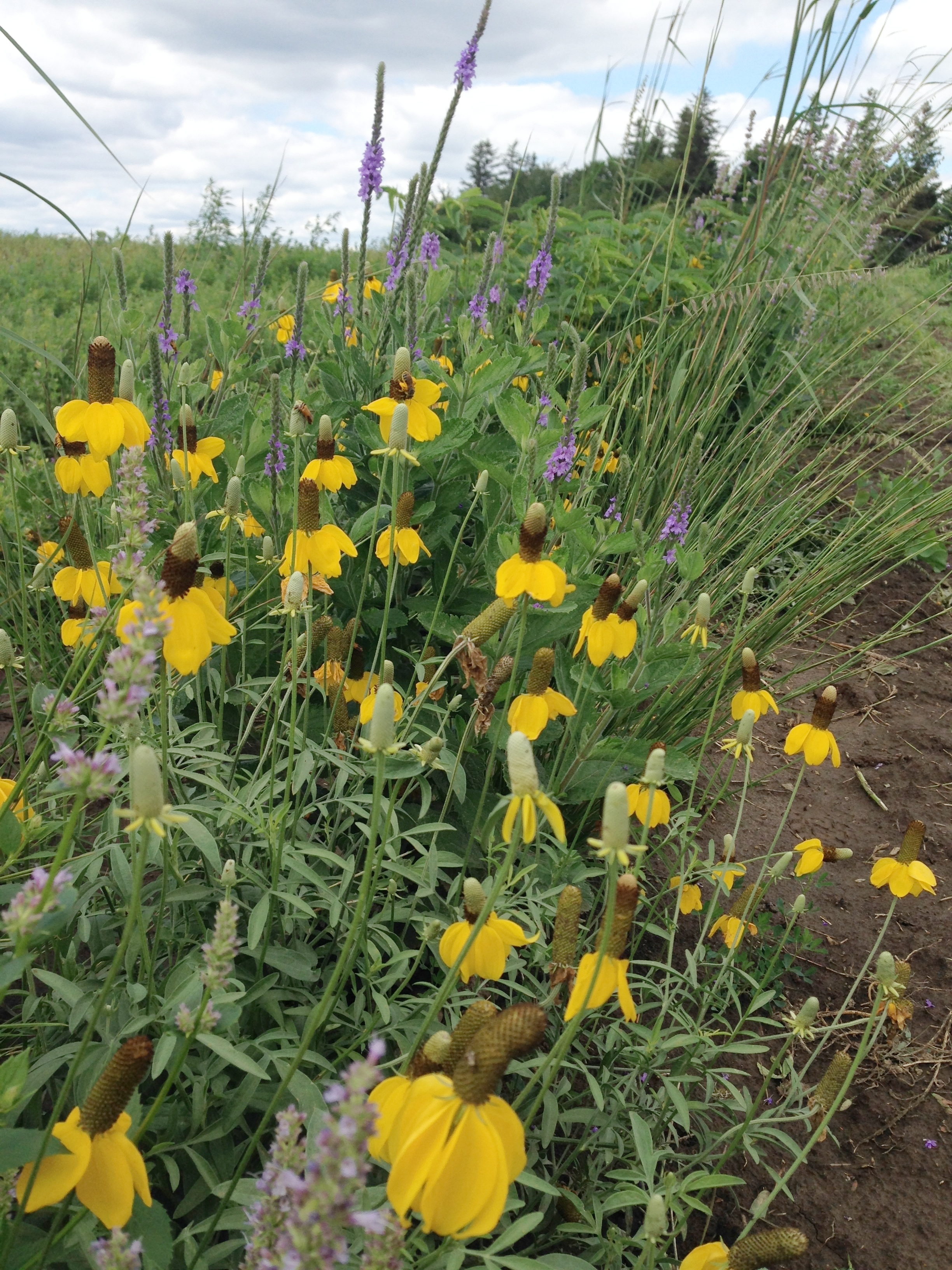 Prairie strips planted amongst the vegetables attracts beneficial insects, including pollinators.