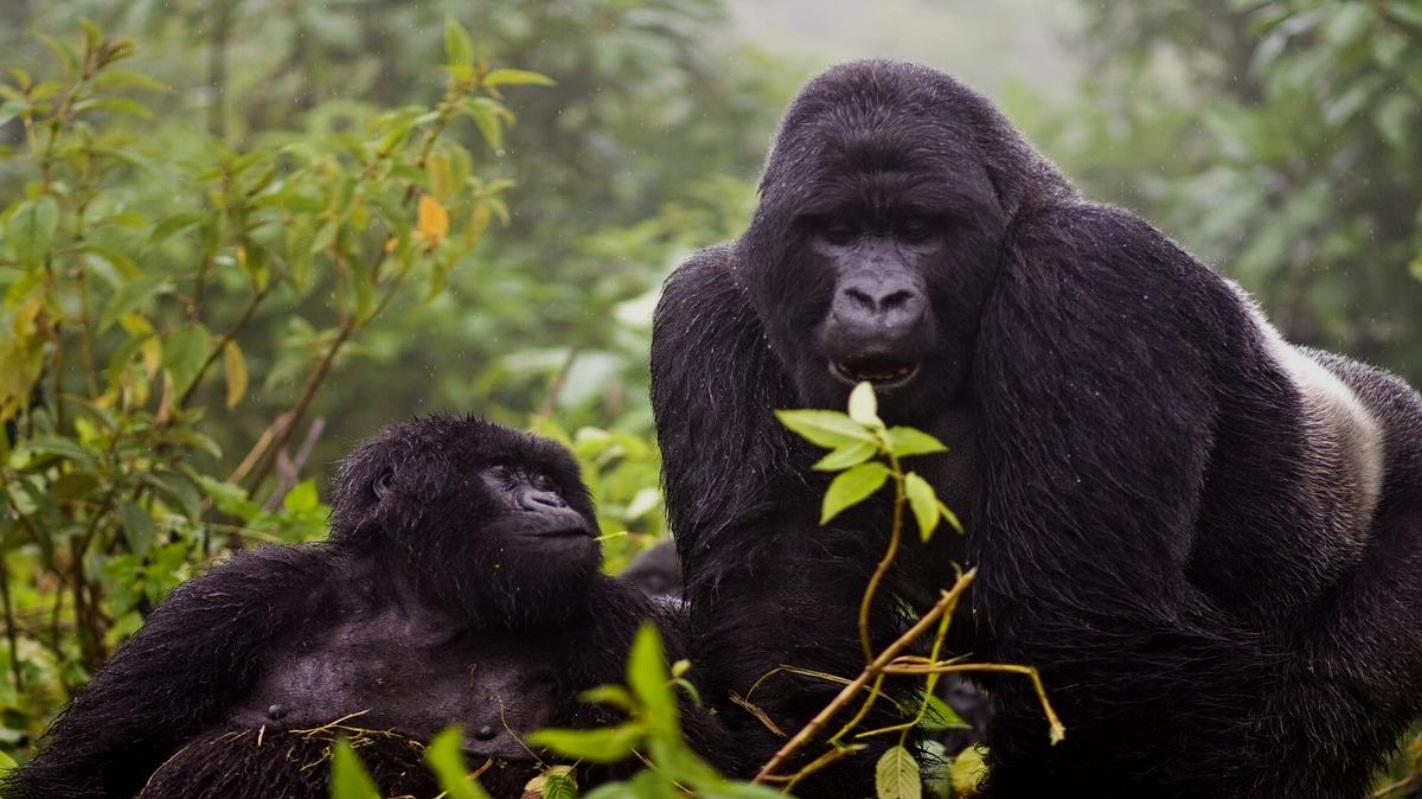 01-Gorillas-in-Mgahinga.jpg
