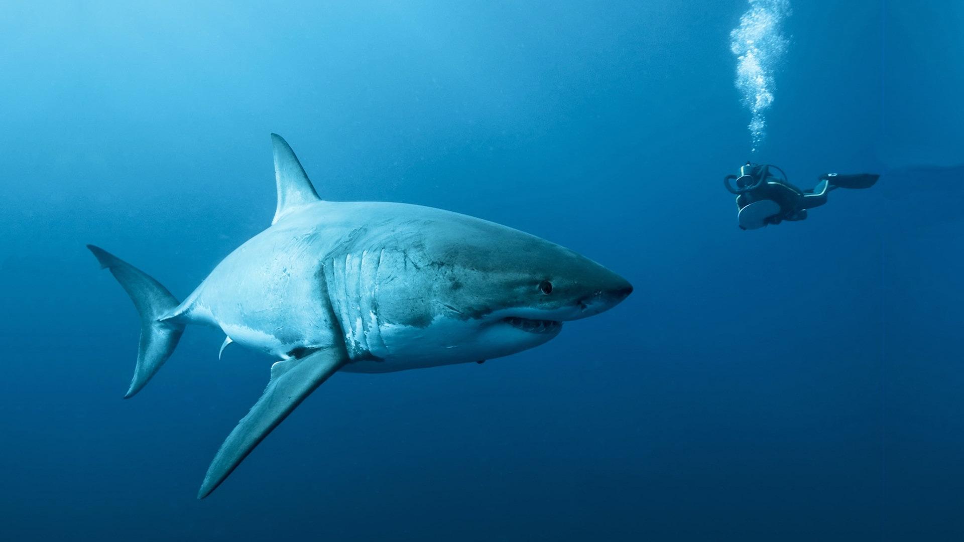 great-white-shark-wallpaper-hd-resolution-88407248.jpg