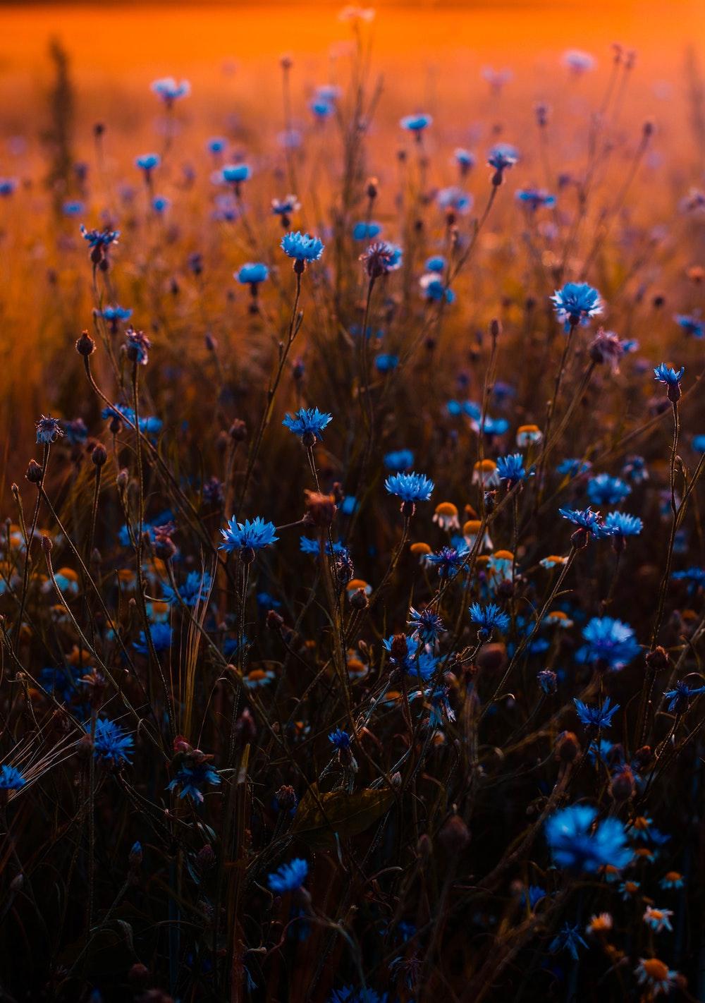 blue-flowers-blur-buds-673857.jpg