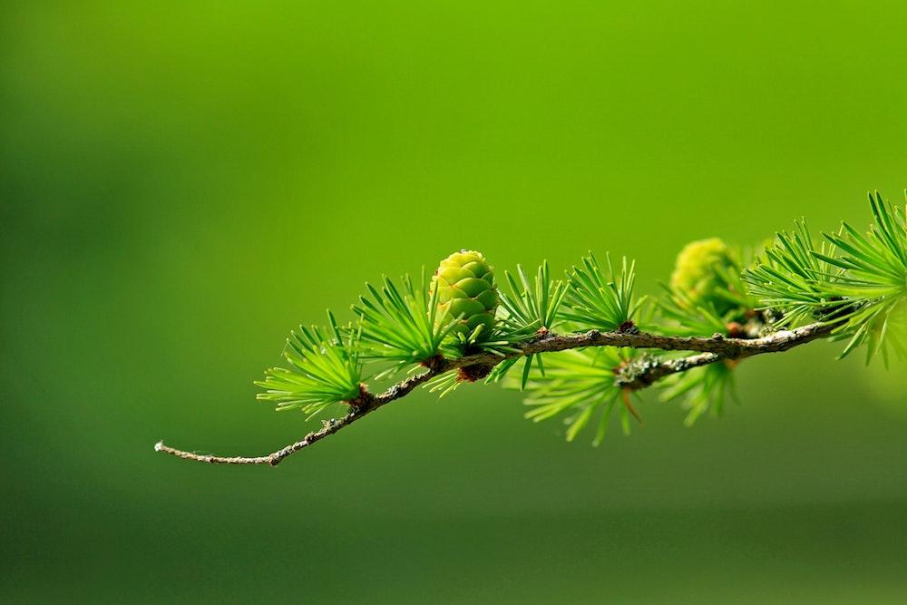 branch-conifer-green-40896.jpg