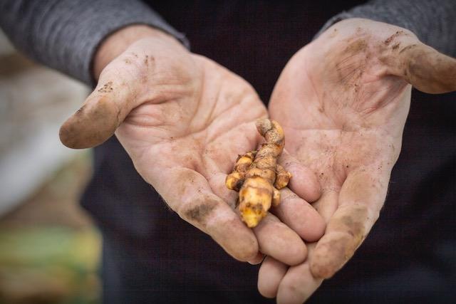 Fresh Organic Turmeric Root