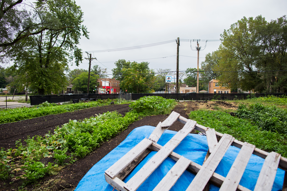 Southside of Chicago a literal food desert - the    corner market    seen over the field of arugula
