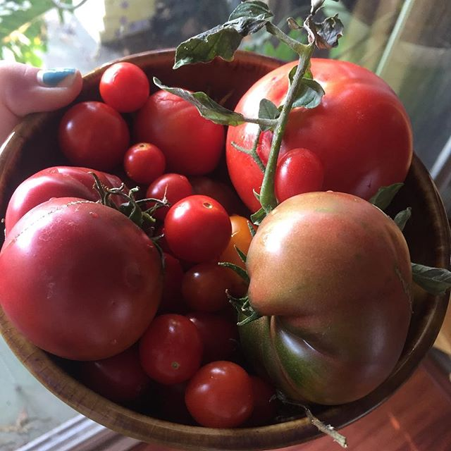 It's the most wonderful time of year! #raisingcainfarms #heirlooms #tomatoes🍅