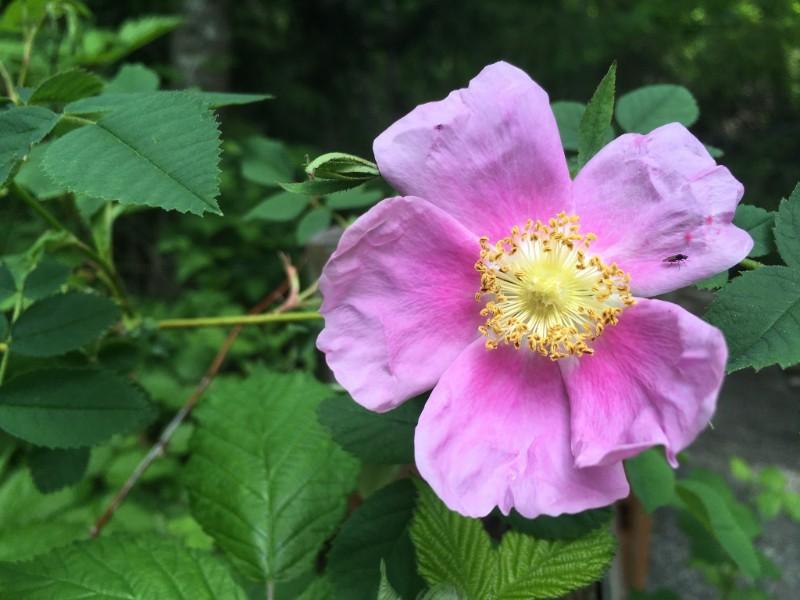 Nootka rose. Photo Credit: Holly Roger