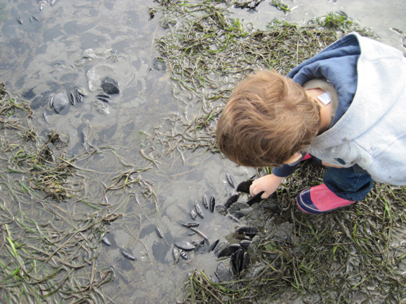 Low tide exposes bank of sand dollars. Photo credit: Holly Roger