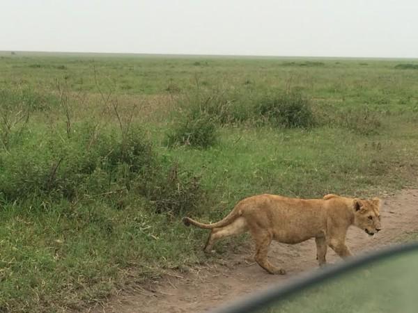 Lioness-600x450.jpg