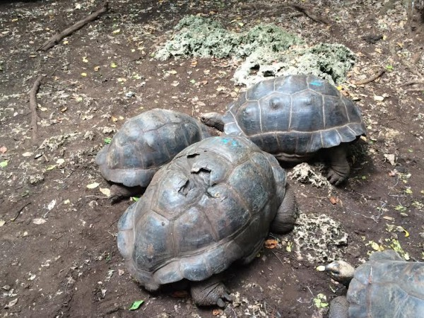 The tortoise with the cracked shell is the oldest on the island at 190 years old.