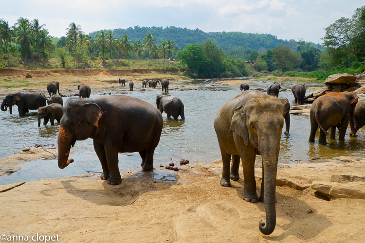 Pinnawala Elephants river