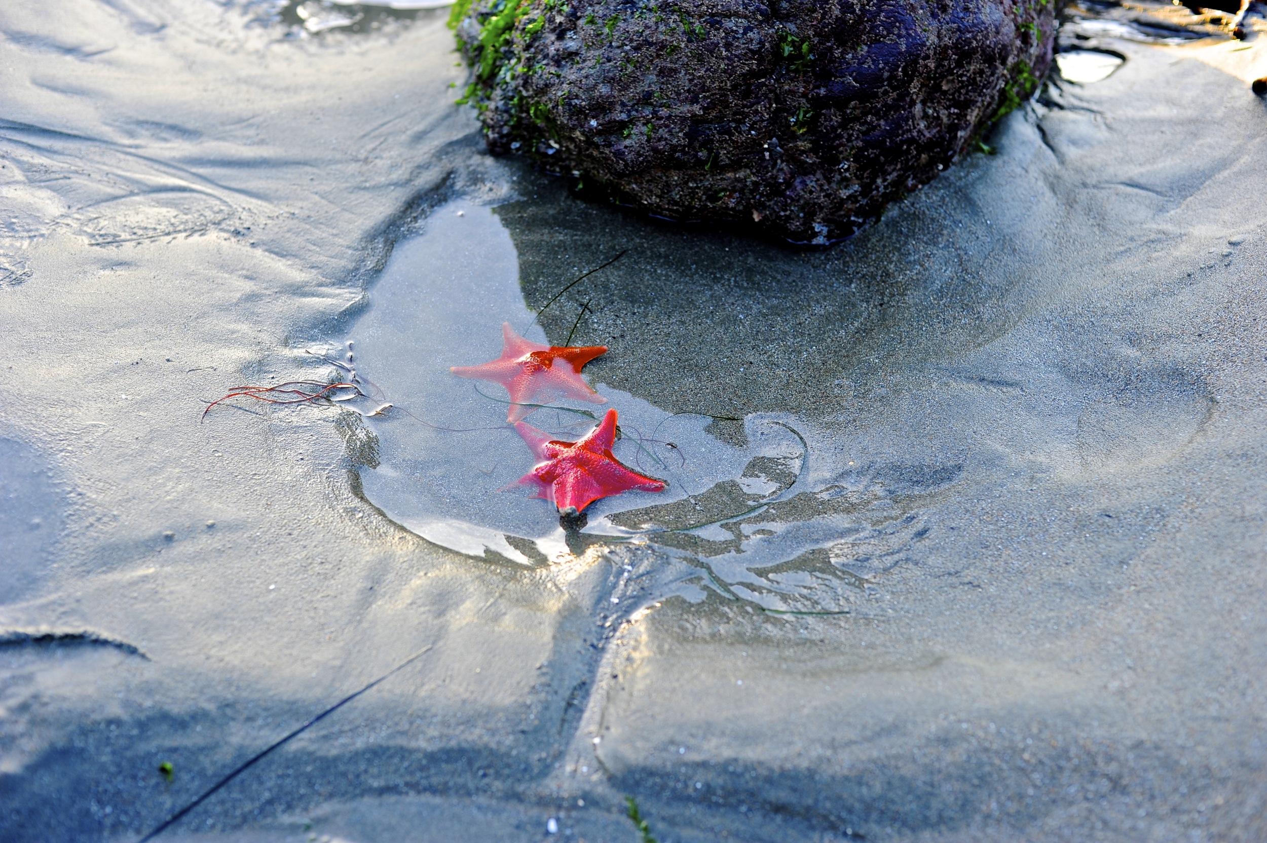 Starfish near Bodega Bay