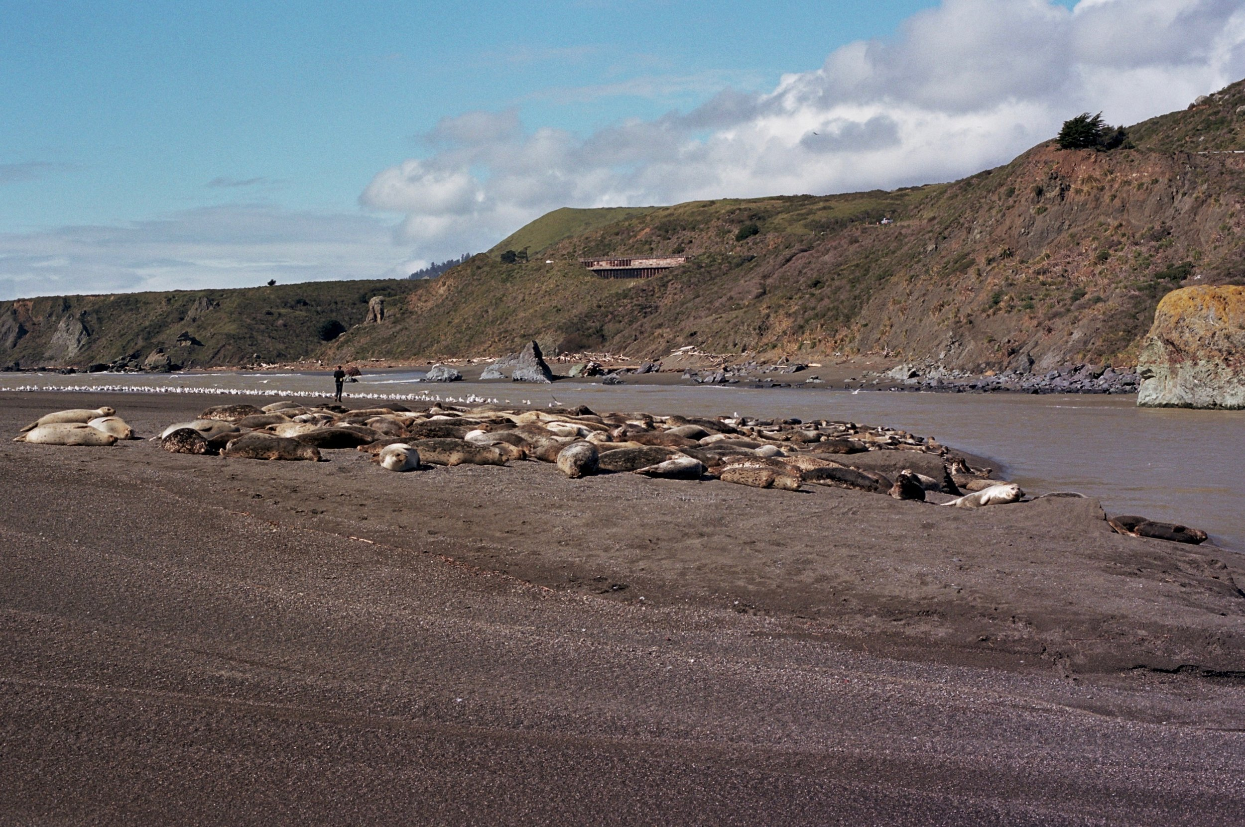 Pacific Harbor Seals enjoying the warm sand in Jenner