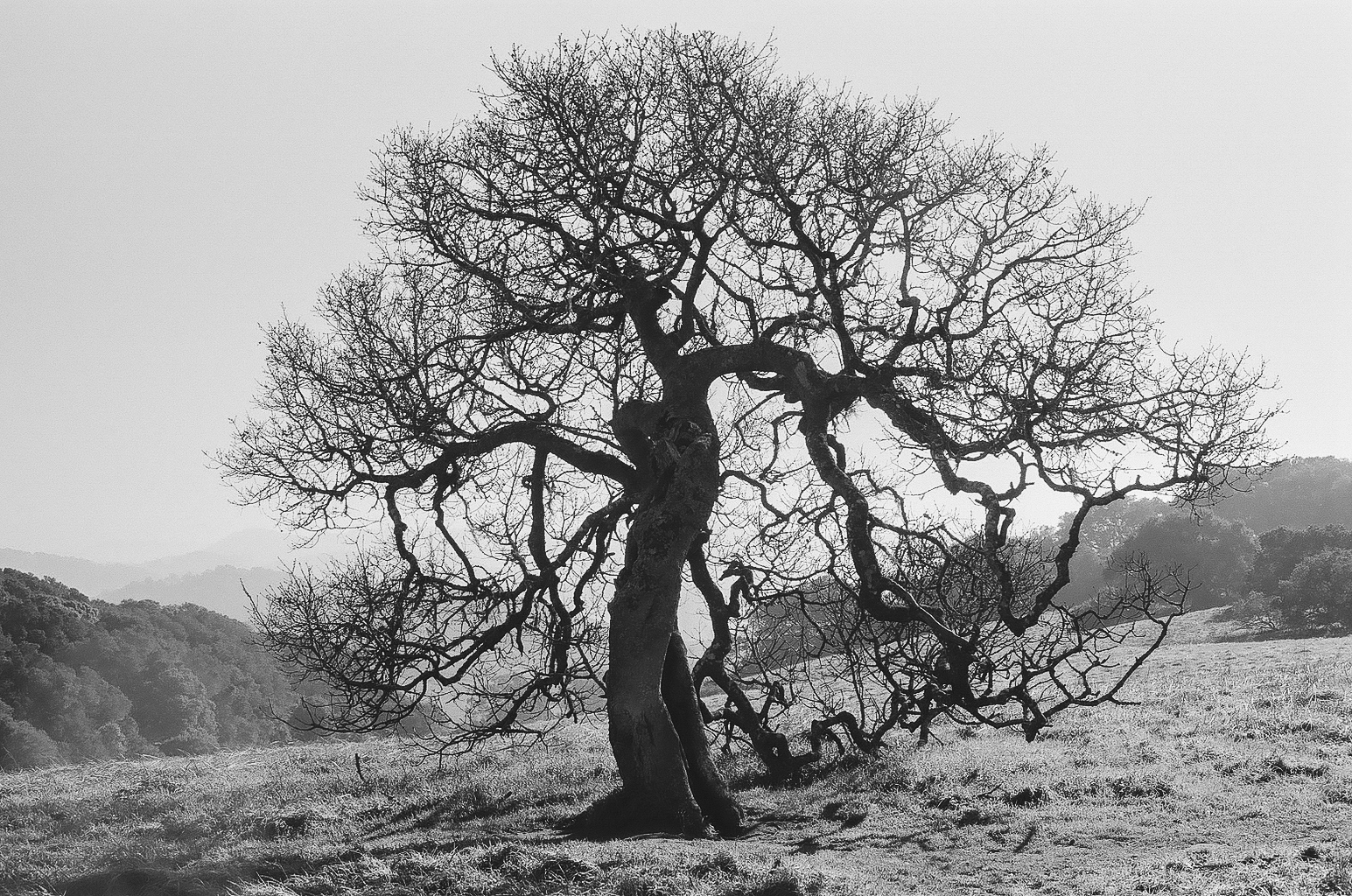 Tree, Sonoma Co.CA