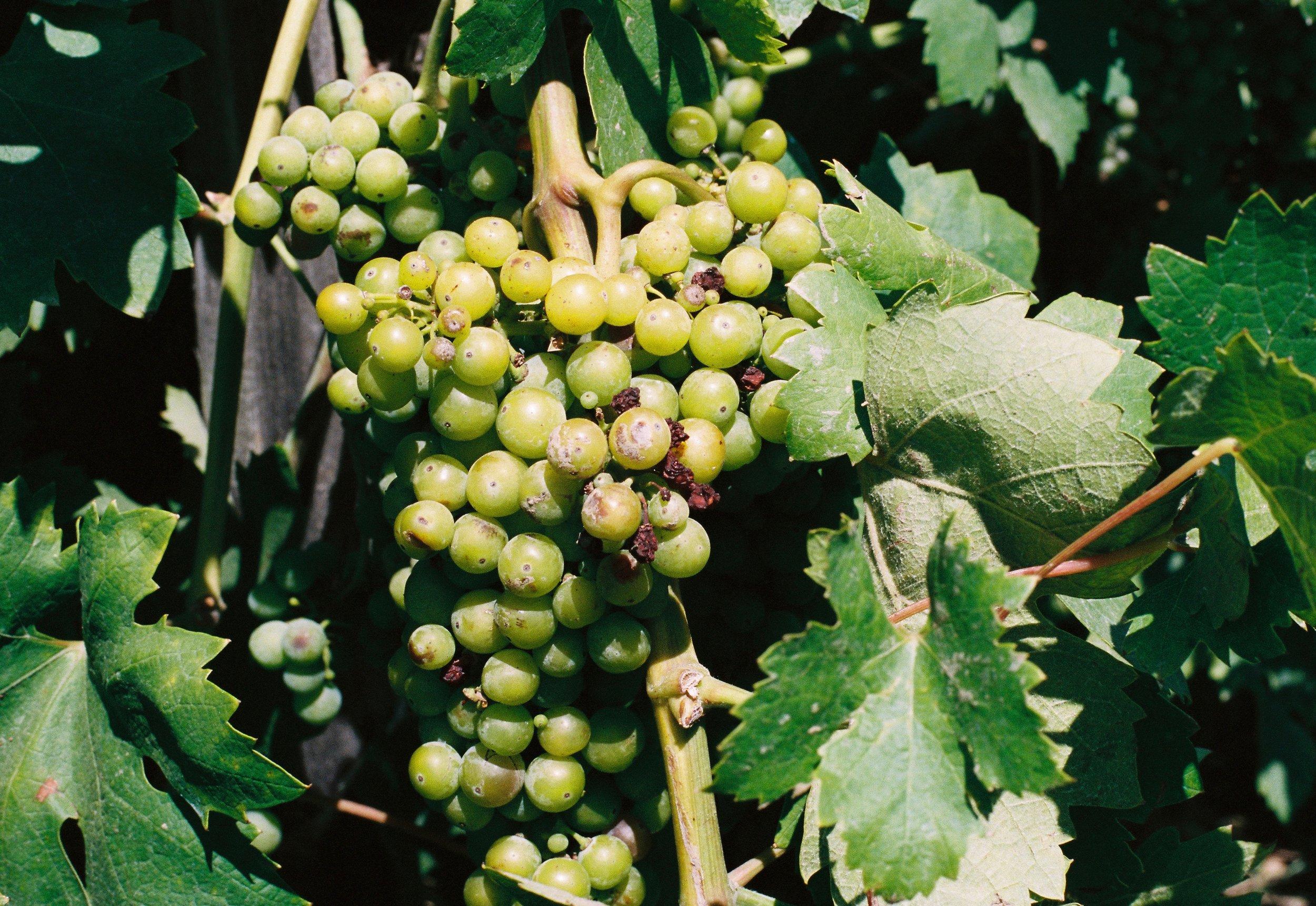 Grapes on the vine at Castello di Amorosa in Calistoga, CA