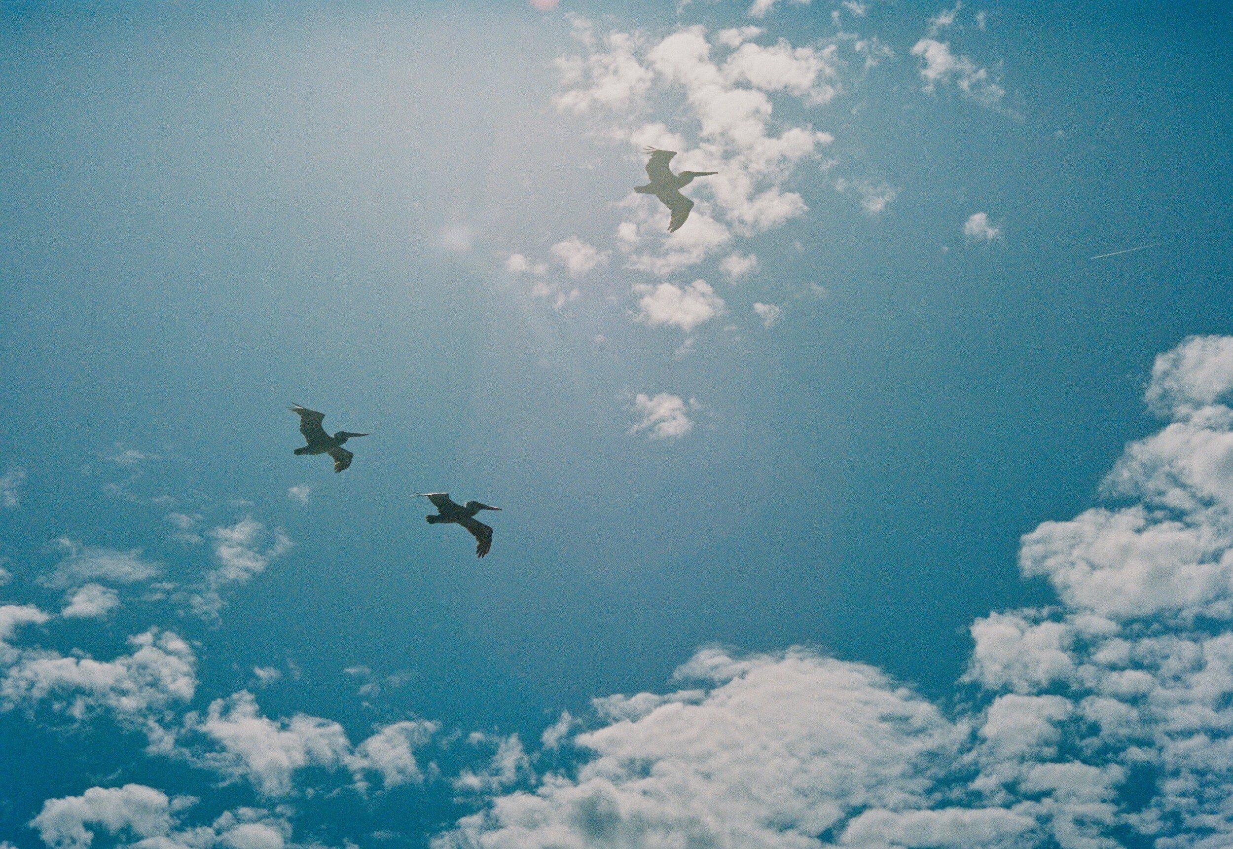 Pelicans 2.jpg