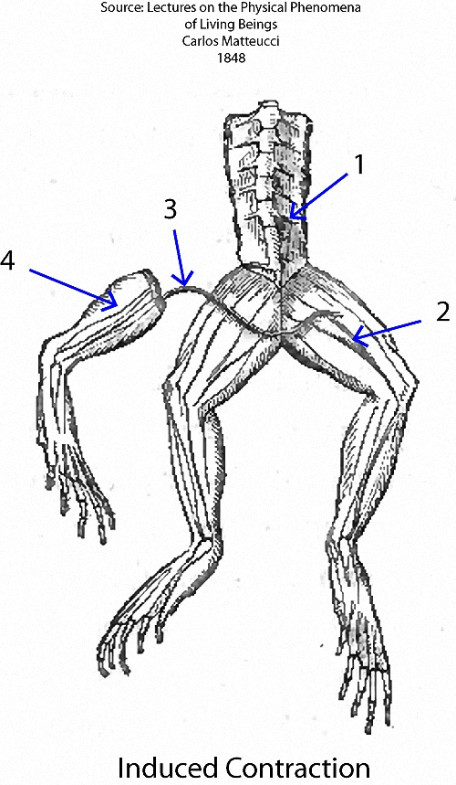 Electrical stimulation of the lumbar plexus (1) of a frog causes contraction of the frog's leg (2) and also contraction of the leg of a galvanoscopic frog (4) which has its sciatic nerve (3) resting on the thigh of the frog that is stimulated.