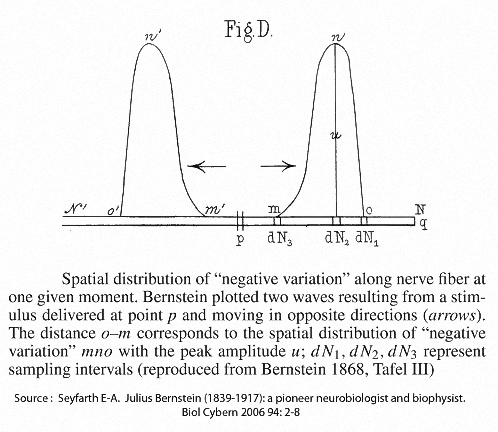 Two action potentials moving in separate directions from the point of stimulaion (P)