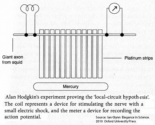 This experiment in 1939 found that lowering the platinum strips into a trough ofmercury increased the speed ofconduction of a nerve impulse along the squid giant axon. The platinum - mercury pathways allowed the local circuit currents to travel more rapidly than when they pass through tissues and surrounding fluid.
