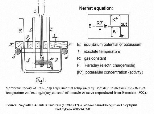 """Bernstein found that the changes in observed """"resting current"""" caused byvaryingthe temperature were consistent with those predicted by the Nernst equation."""