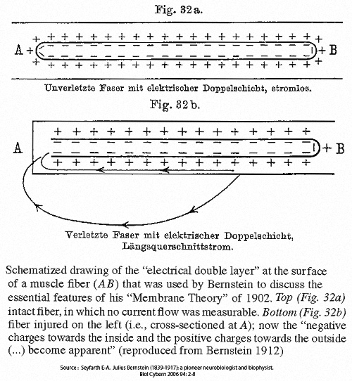 Bernstein's illustrationof the resting membrane potential and the injury current