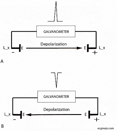 Figure_5. The depolarization wave in a cardiac cell or a strip of heart muscle is recorded by a electrode (E) attached to a lead (L_x) connected to ameasuring device (a galvanometer). Each lead has a positive ( +) end or pole and a negative (-) end or pole.   A: A depolarization wave that travels towards the positive pole of a lead produces a positive deflection in the galvanometer tracing i.e a deflection above the baseline.   B: A depolarization wave that travels away from the positive pole of a lead produces a negative deflection in the galvanometer tracing i.e a deflection below the baseline.