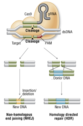 Process of insertion and deletion of DNA shown above. Figure courtesy of New England Biolabs