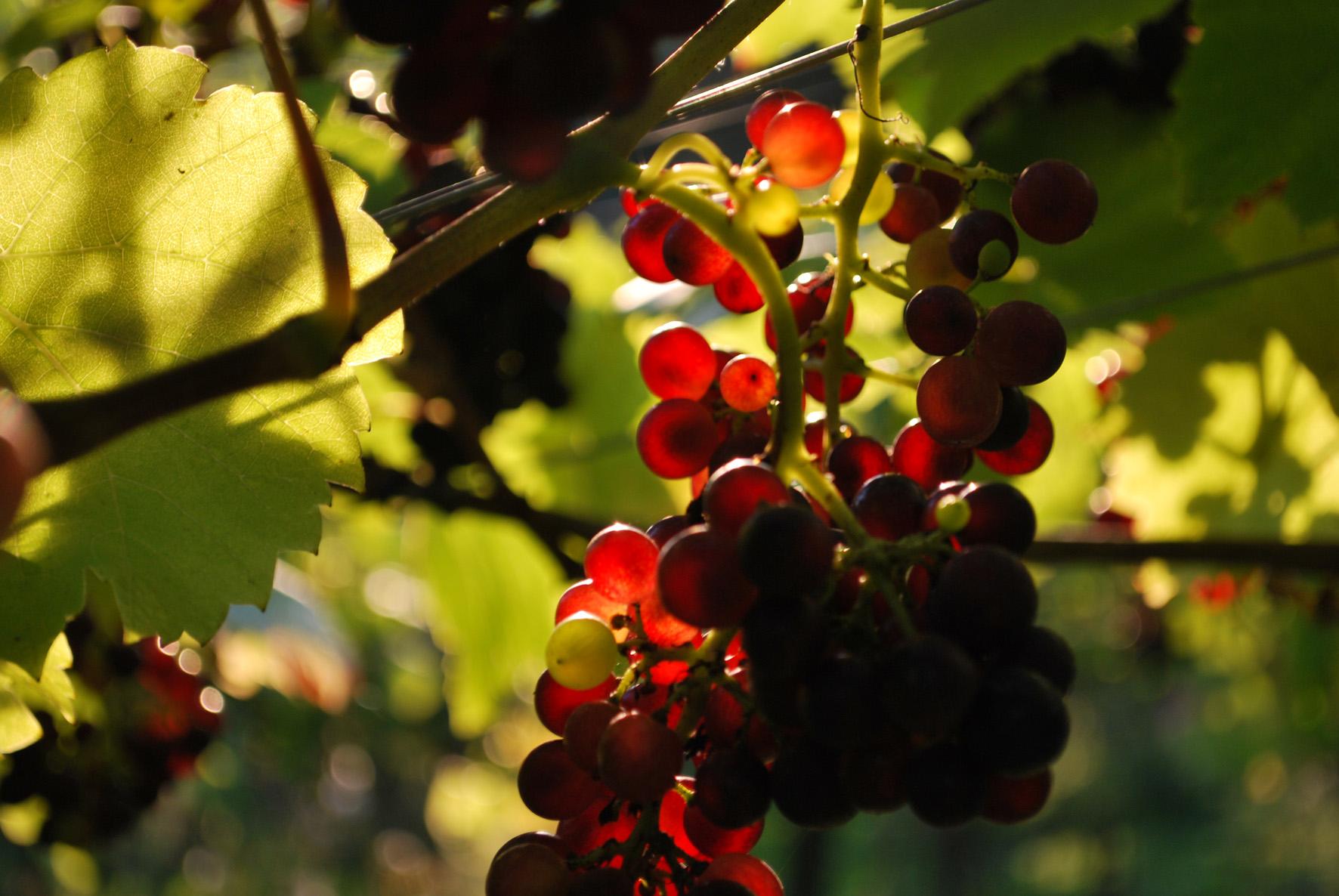 Pinot Noir in the sun