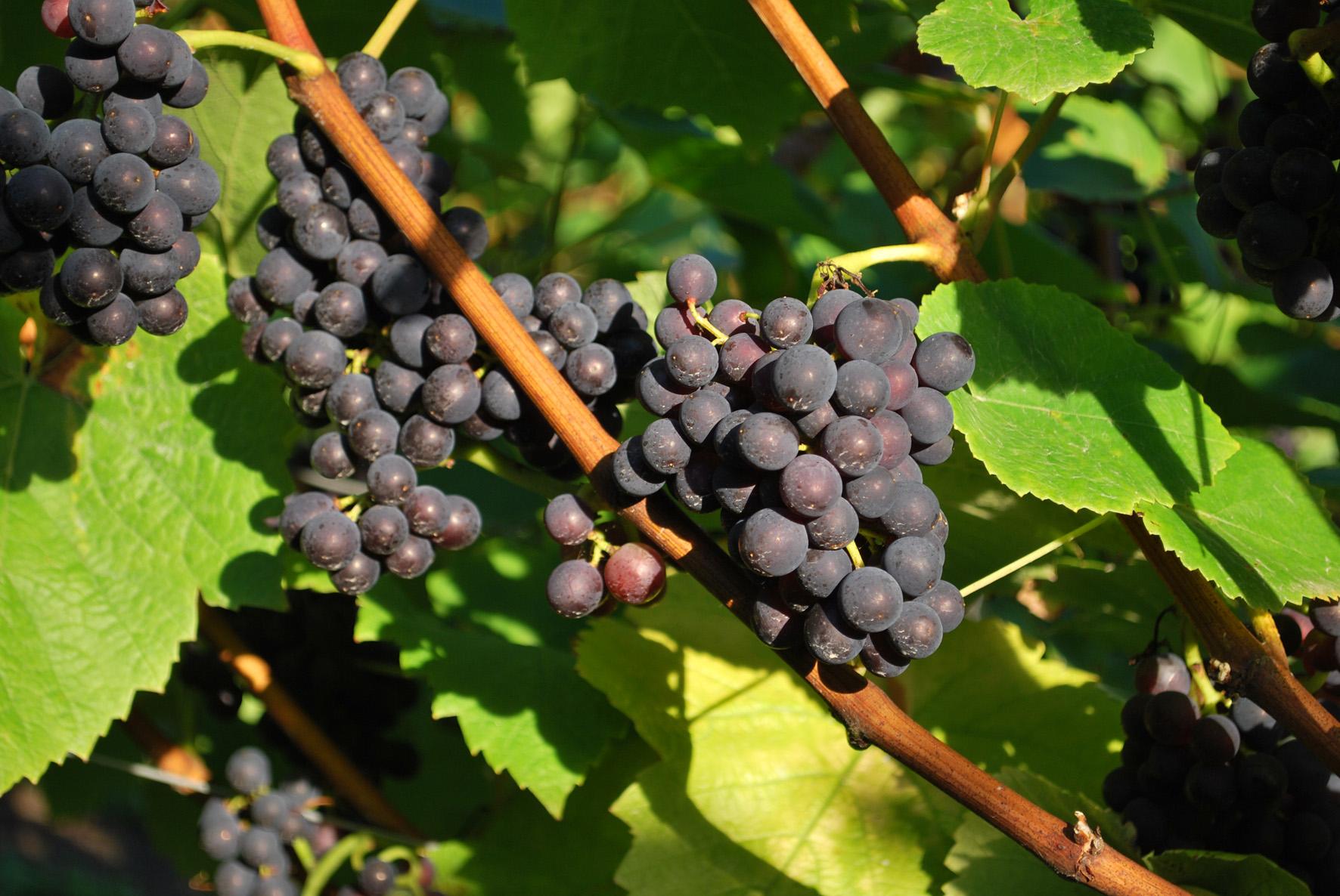 Ripening Pinot Noir