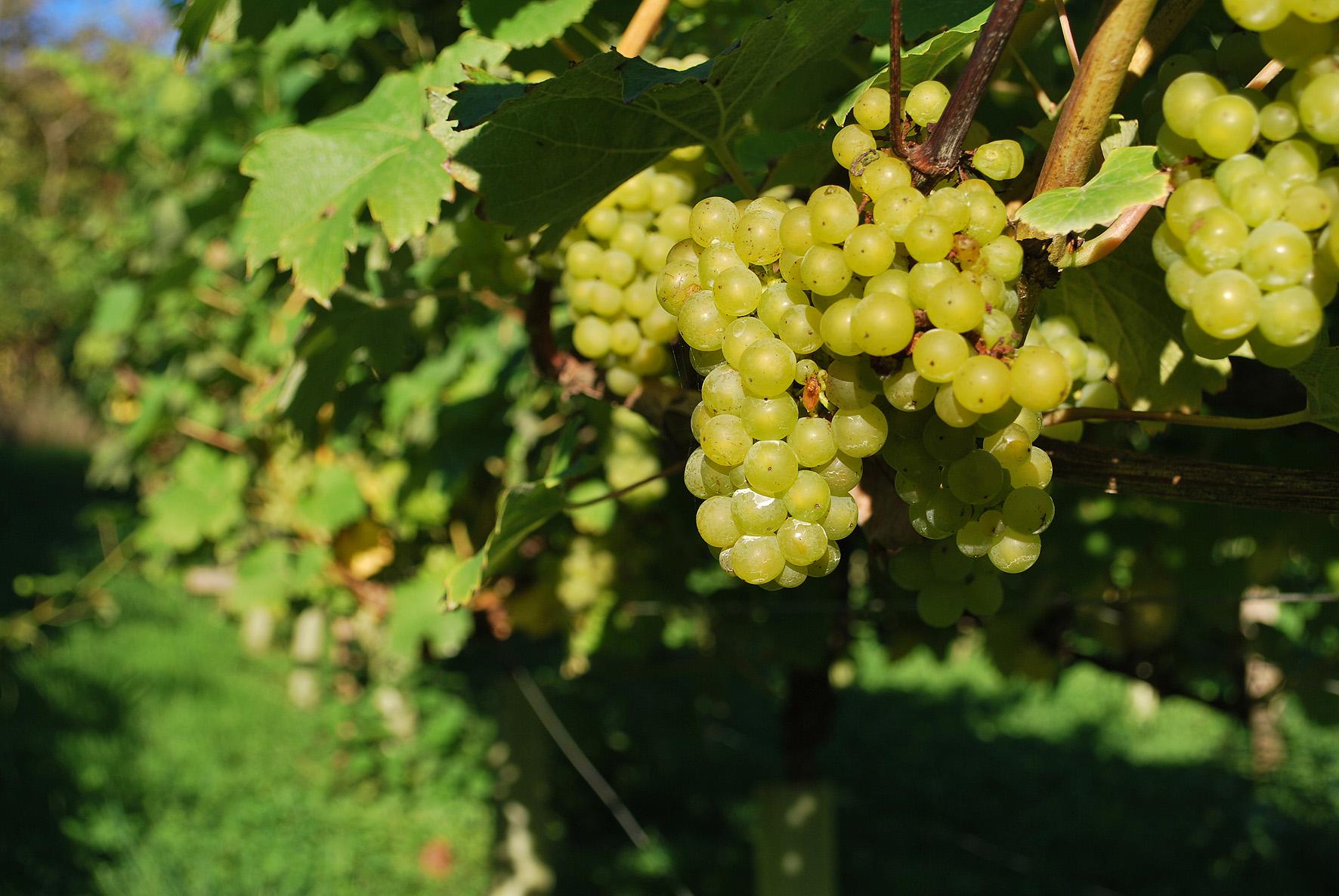 Ripe Bacchus grapes