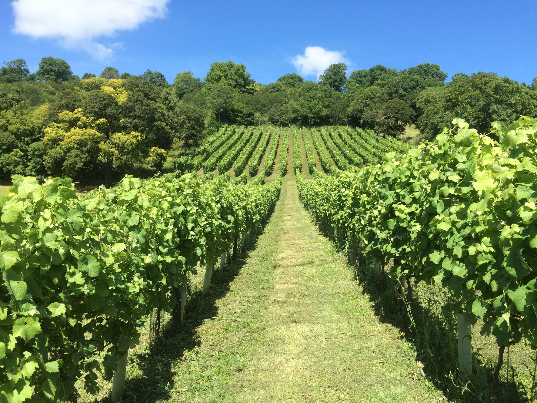 The vineyard in July