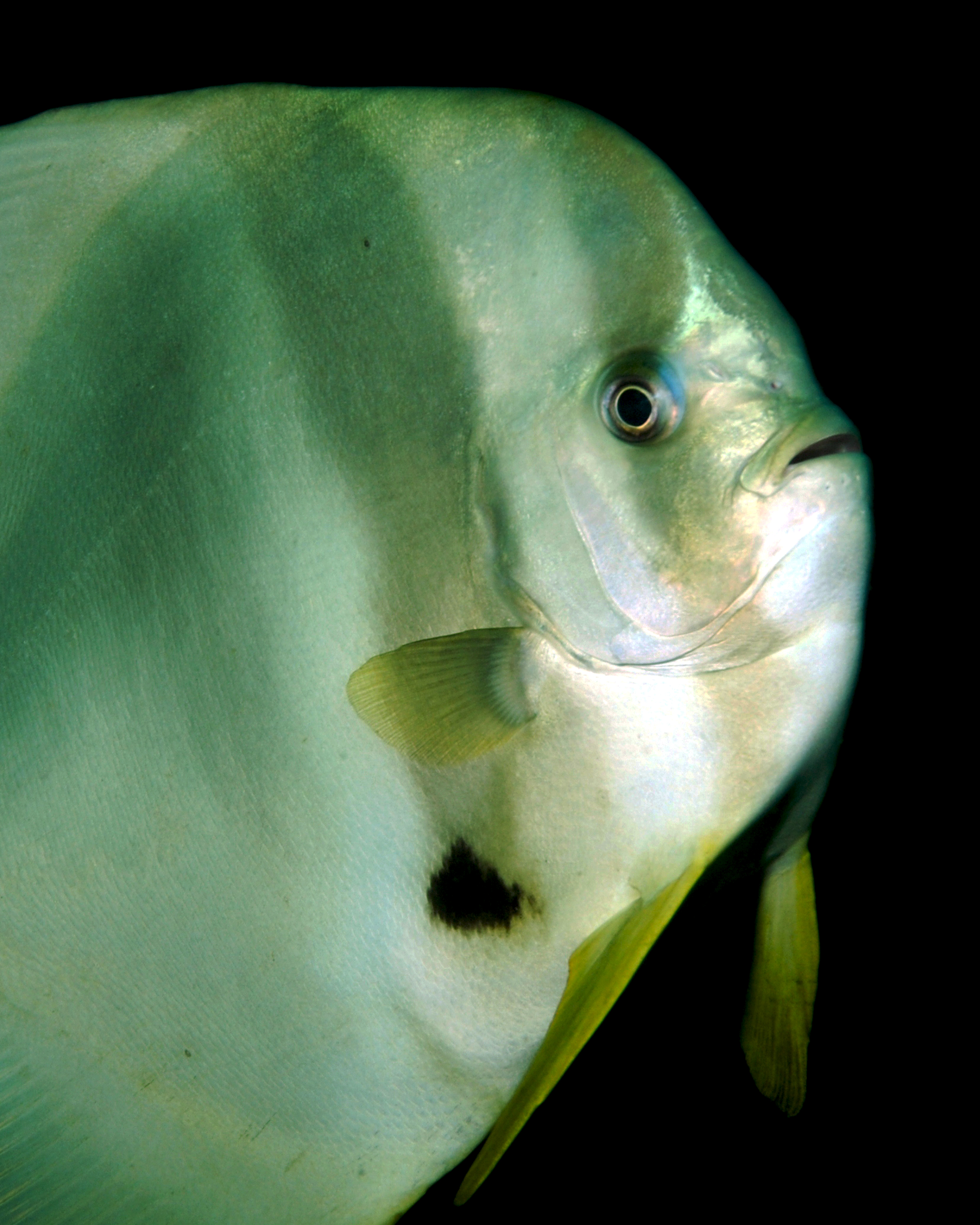 Tallfin Batfish - contact.jpg