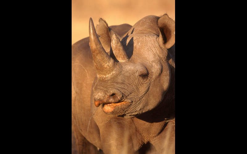 Black Rhinoceros - 3P7416 ©Art Wolfe/Science Source