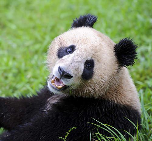 Giant Panda - BR5395 ©John Shaw/Science Source