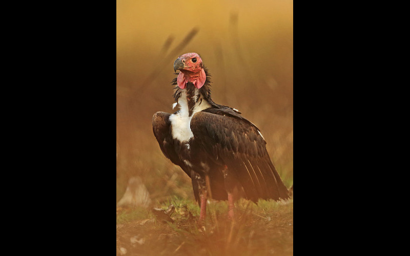 Red-headed Vulture - FD7368 ©Neil Bowman/FLPA/Science Source
