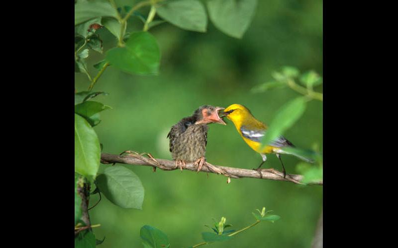 Nest Parasitism