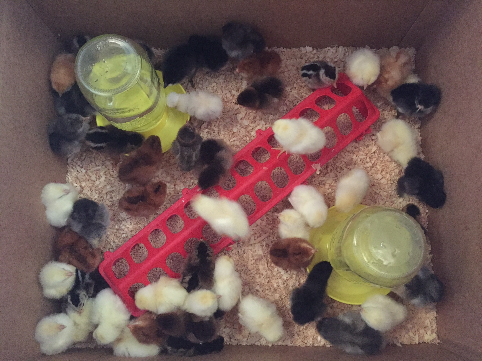 Chick Shipment April 2017.jpg