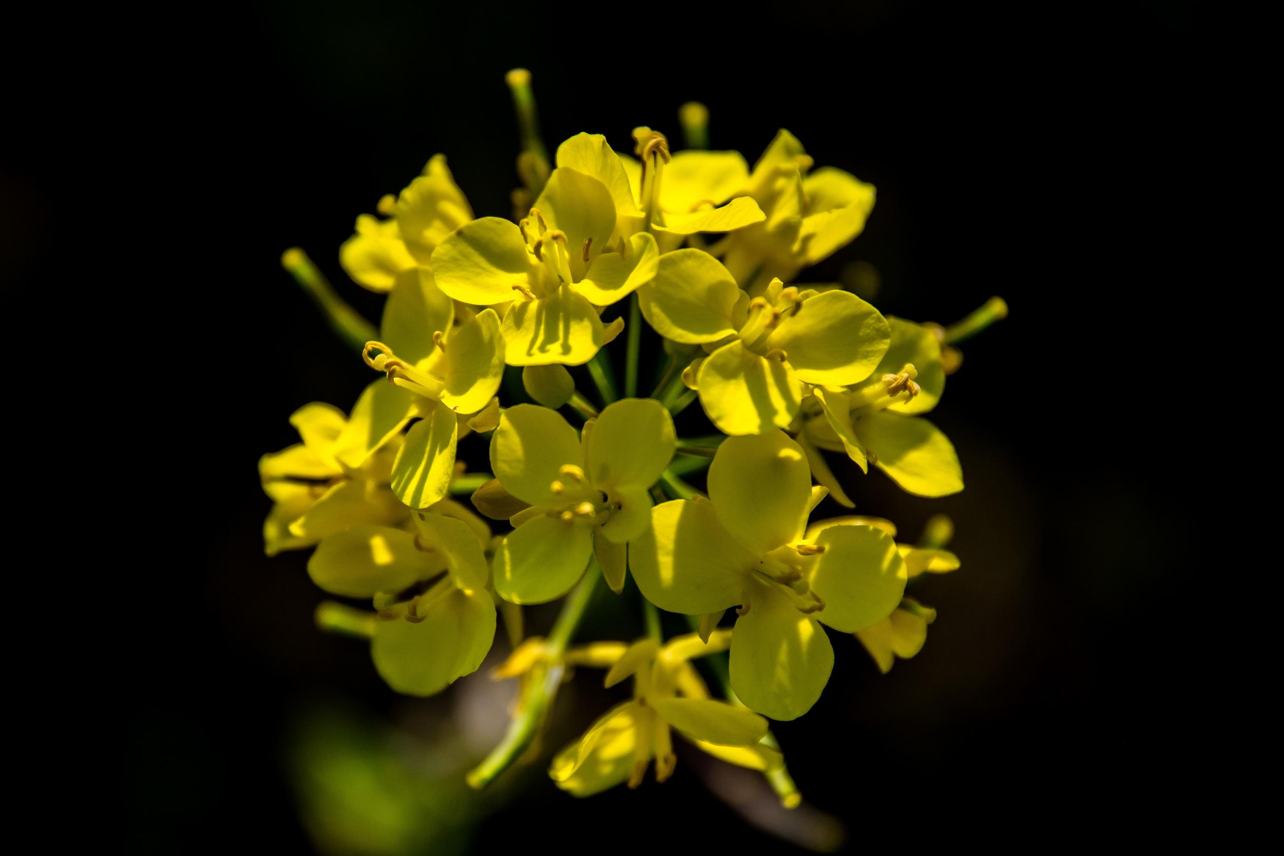 Is dit vlas? Het is een plant met een gele bloem. Het wordt geteeld. Je ziet het dikwijls op het platteland.