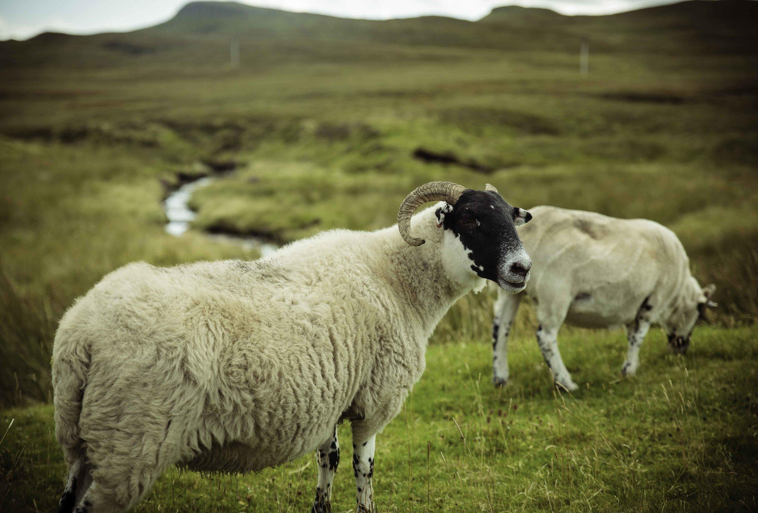 schotland-fotograferen-island-skye-schapen-natuurfotografie