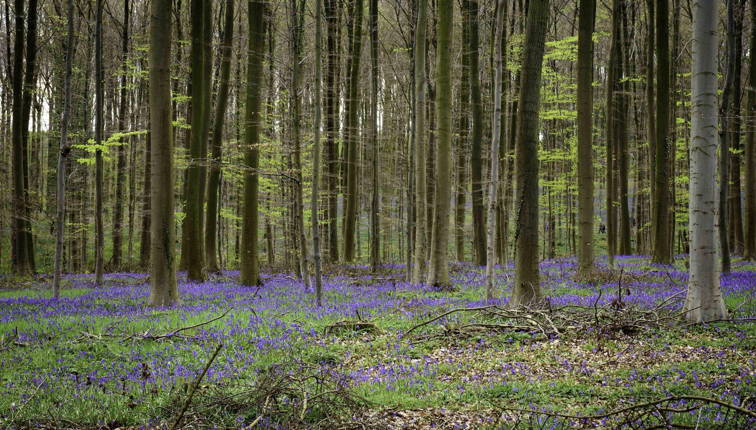 viewfinder-blauwe-hallerbos-fotograferen-tips-natuurfotografie-1