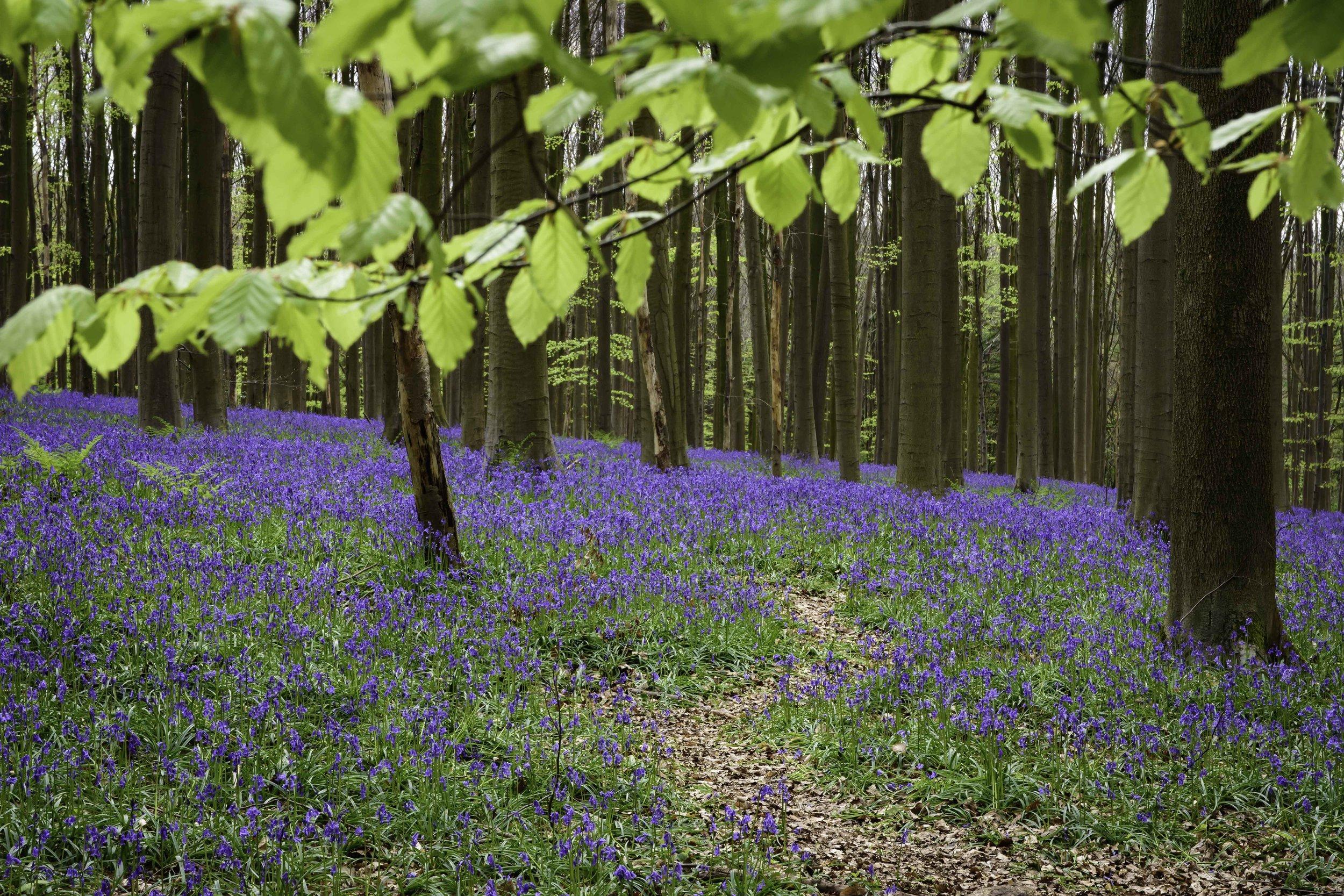 viewfinder-blauwe-hallerbos-fotograferen-tips-natuurfotografie-2