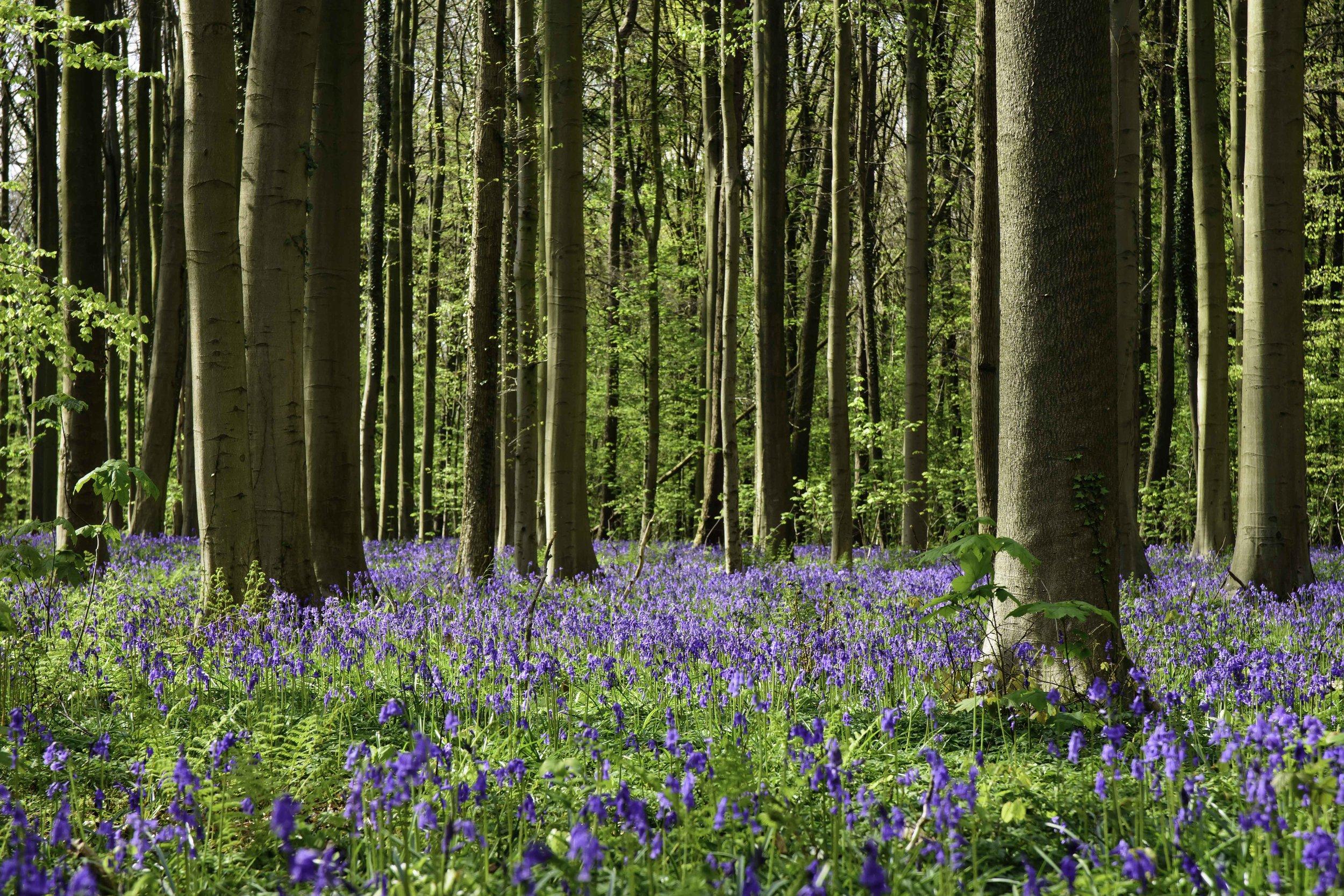 viewfinder-blauwe-hallerbos-fotograferen-tips-natuurfotografie-4