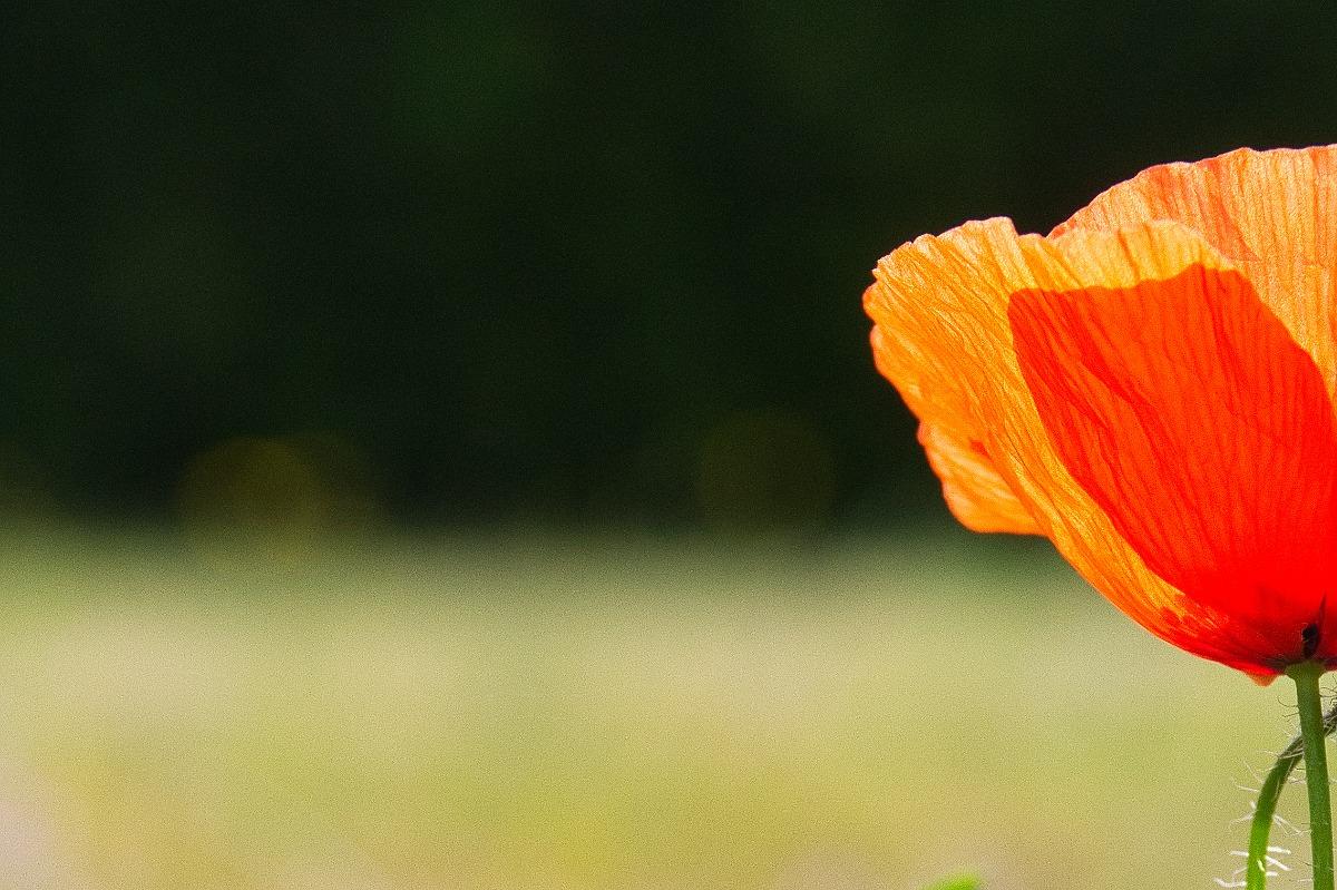 viewfinder-creativeboody-negative-space-photography-negatieve-ruimte-fotografie-klaproos-poppy (1).jpg