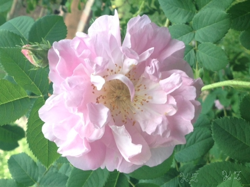 damask rose, celsiana