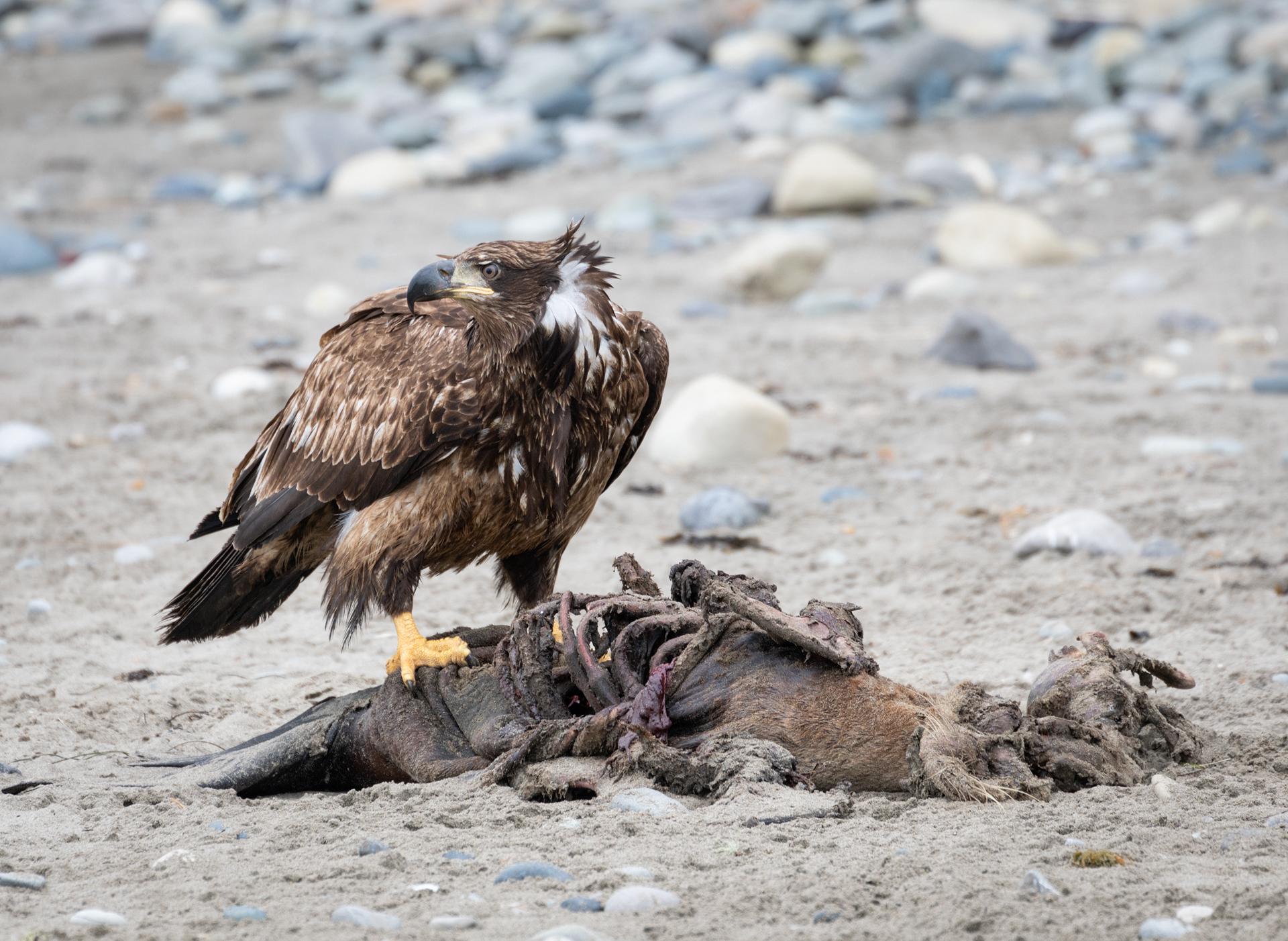 Olympic North Coast eagle.jpg