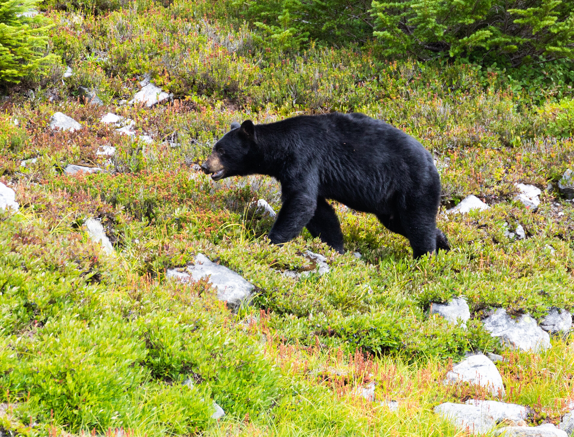 The bear moving from berry bush to berry bush