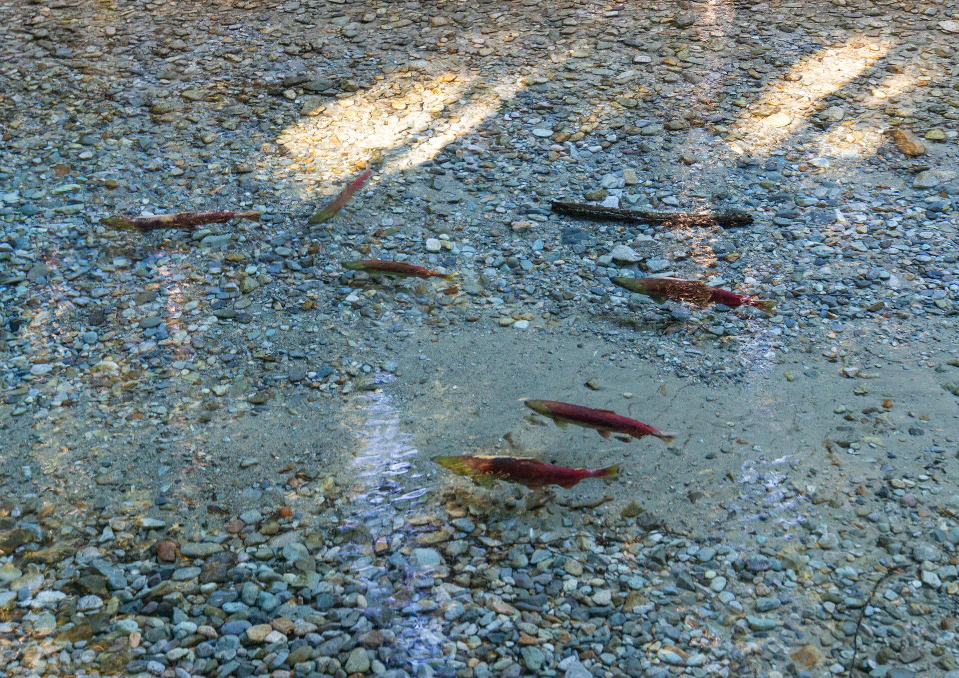 Wild salmon in the Chilliwack River