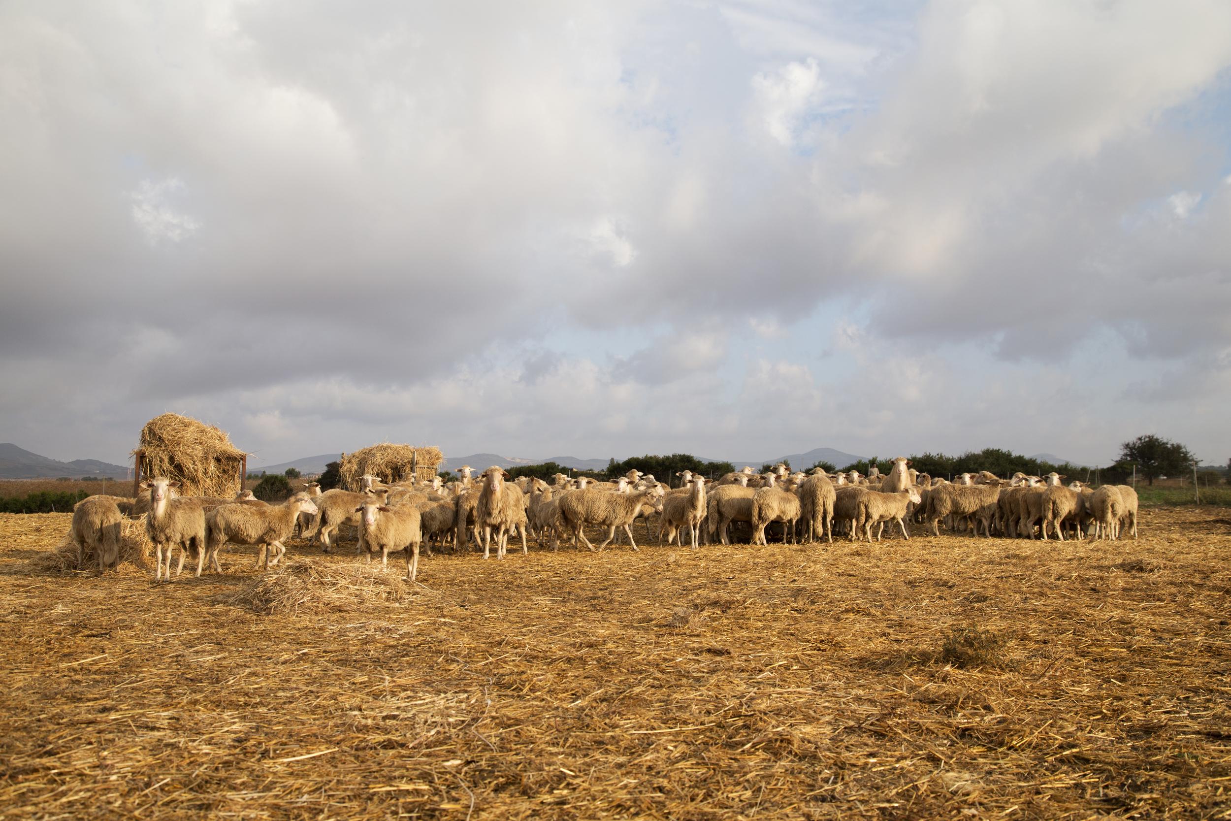 Sulla strada dei due mari, che collega Porto Torres a Olmedo, 2014. Pecore per la produzione di latte e formaggi di un'azienda che non ha aderito alla contrattualizzazione dei suoi terreni per la produzione di biomasse erbacee.