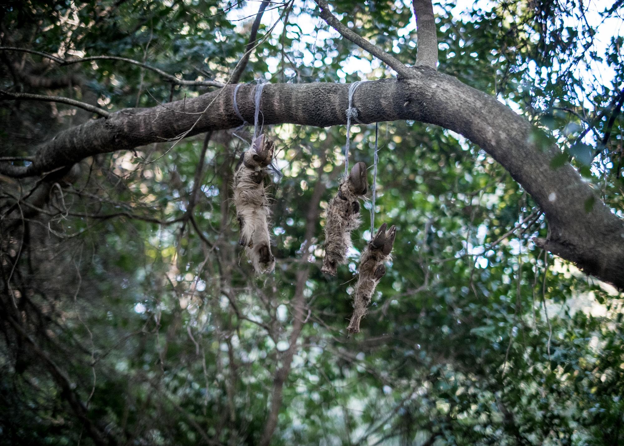Zampe di Capra appese negli alberi dell' area D, Corre Pruna, comune di Perdasdefogu, poligono a terra.
